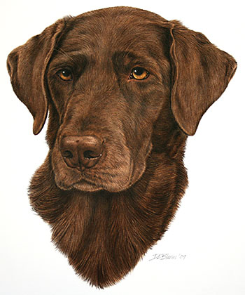 Chocolate-Labrador-Summer
