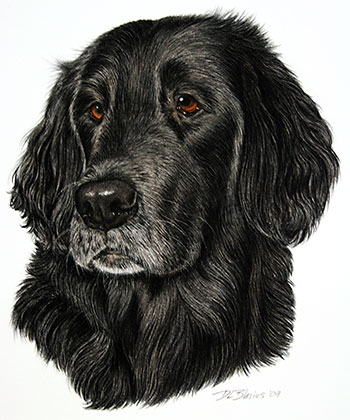 Flat-Coated-Retriever-Tapas